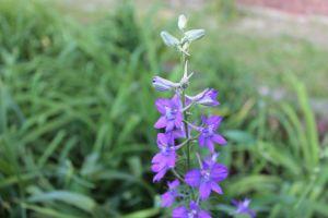 purple larkspur det IMG_7997